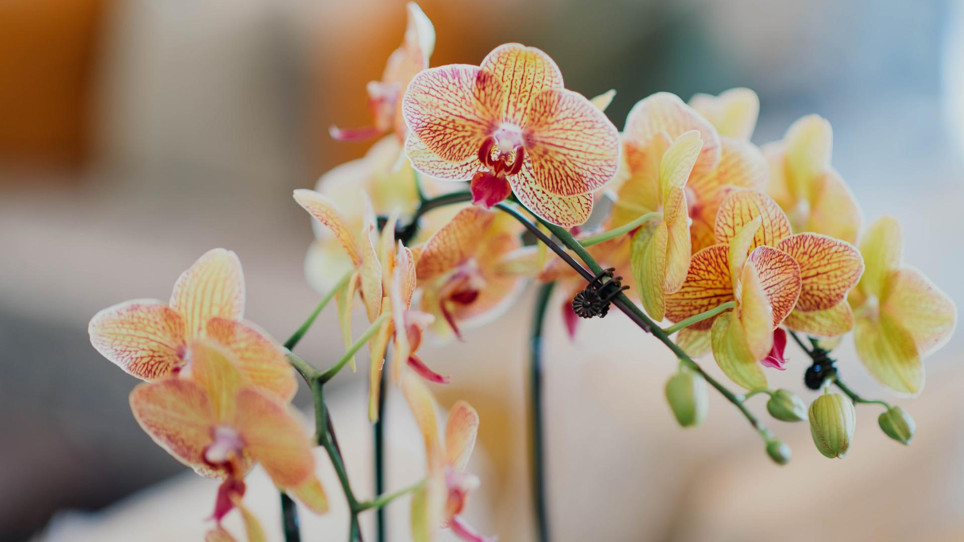 Orhideja - kraljica cvijeća